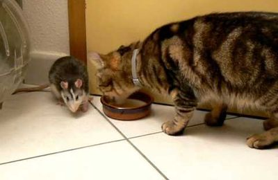 Entre Chat et Rat