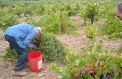 Picking 100 year old #Carignan by Napavids