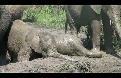 SI MIGNON ELEPHANTS