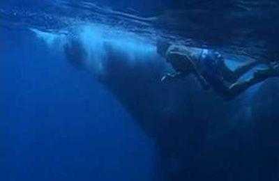 Quand partir observer les requins baleines à Madagascar ?