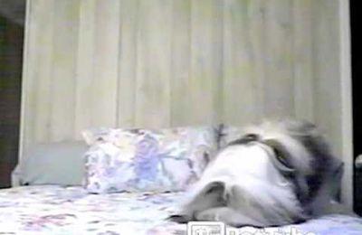 Un chien plonge la tête la première sur un lit