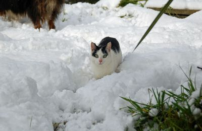 Le chat des neiges
