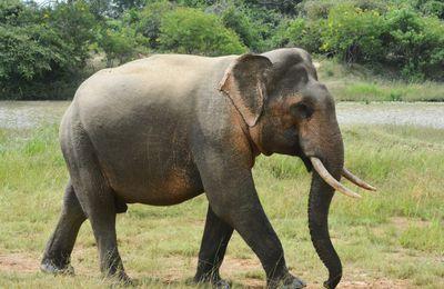MALAISIE - Un réseau de braconniers d'éléphants démantelé