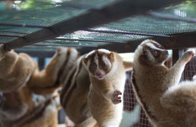 INDONESIE - 27 Loris lents confisqués à des trafiquants à Java