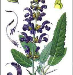 La sauge officinale