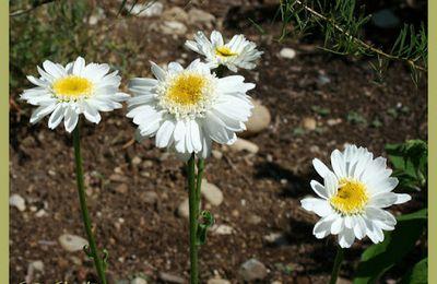 Leucanthemum Sunny Side Up