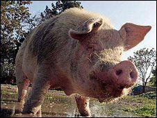 Les incroyables Aventures du Cochon afghan