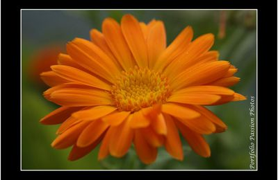 Marguerite Orange