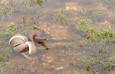 En Australie, la photo choc d'un python avalant un crocodile