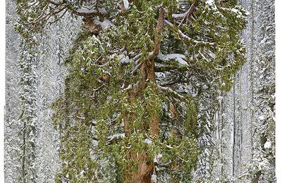 le plus vieux sequoia du monde