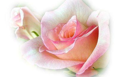 Un samedi en poésie - Mignonne, allons voir si la rose, de Pierre de Ronsard