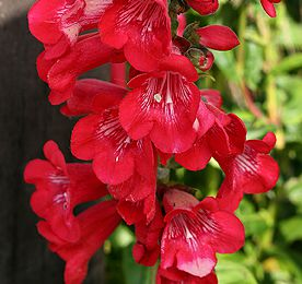 Le penstemon