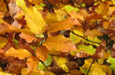 Pourquoi les feuilles jaunissent-elles en automne ?