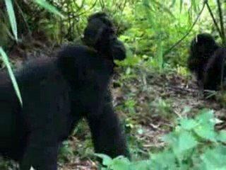 Dans l'intimité des gorilles, des images superbes au coeur du parc national des Virunga