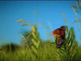 Le périple du papillon Monarque