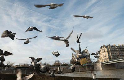 Les pigeons voyageurs de l'armée française