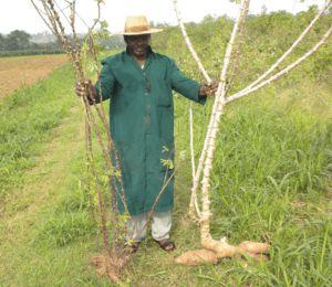 Ils sont bien nourris, ils n'ont pas besoin de manioc GM