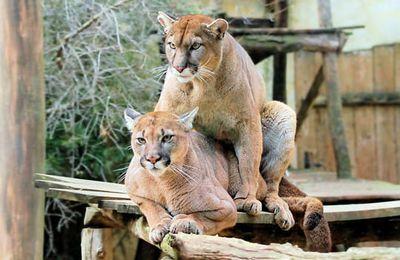 Après les cougars, voici les pumas encore plus nombreux.