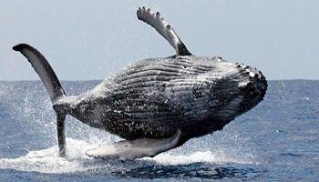 URGENT : Prendre des mesures pour que le Japon cesse la chasse à la baleine !