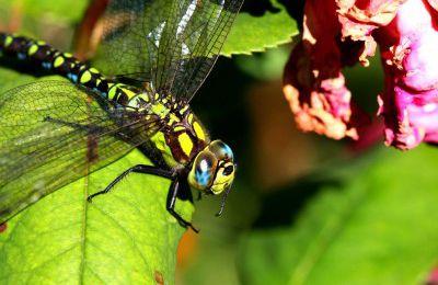 Europe : les libellules, les scarabées et les papillons sont en péril