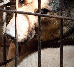 Animal Equality révèle l'horreur du commerce de la viande de chien. ( voicelessfriends.org)