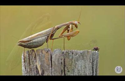 The meal of the praying mantis...