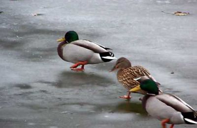 CANARDS SUR PATINOIRE.