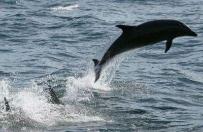 Le retour du dauphin noir