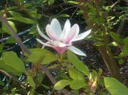 3 - Magnolia