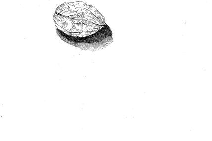 Noix. Encre sur papier 19/24 cm