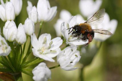 Une abeille à l'ouvrage