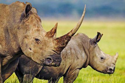 Rhinocéros en péril