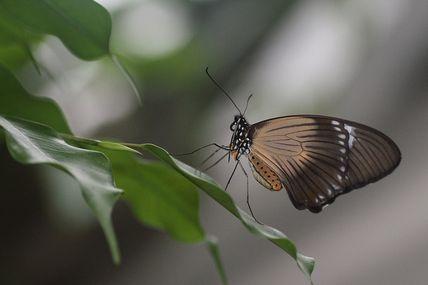 Papillon gracile