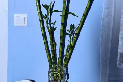 Le Lucky Bambou, qui signifie Bambou de la chance.