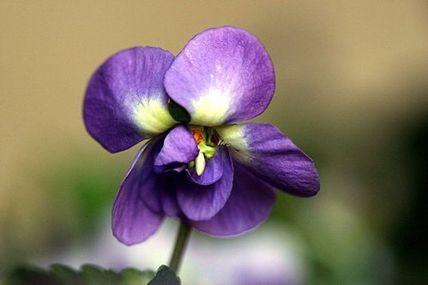 Une histoire d'amour : les violettes