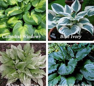 Types of hostas. Zon