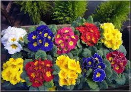 langage des fleurs : la primevère