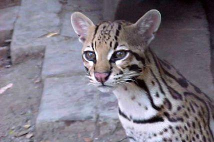 MP determinó que Cunaguaro del zoológico El...