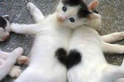 Heart kittens @ Teh Cute