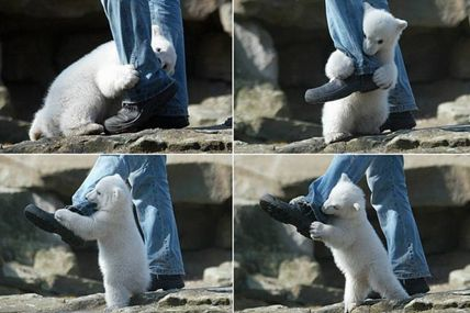 Polar bear attacks man @ Teh Cute