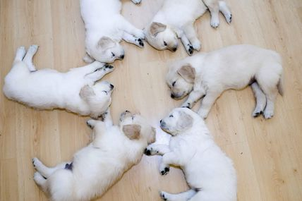 Puppy sleeping circle @ Teh Cute