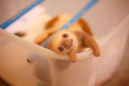 Baby sloth @ Teh Cute