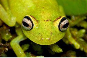 Coâ, coâ, coâ, disait la grenouille