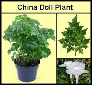 China Doll Plants Rarely Bloom Indoors Earthdragon S Endangered Species