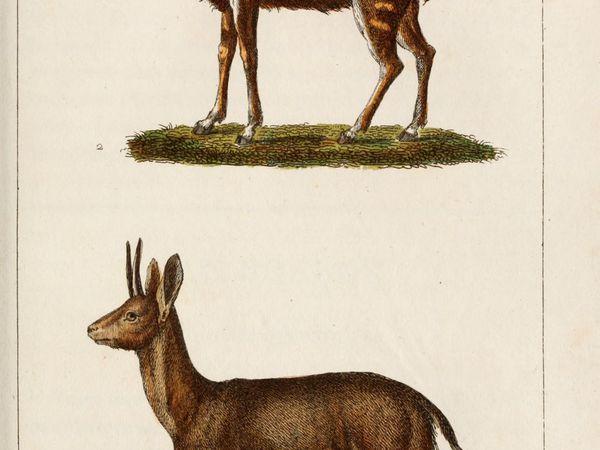 gravures-mammiferes-Buffon