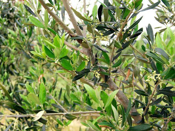 Album - L'Huile d'olive Papillon