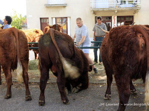 En majorité les Salers traites Freyssac 02.08.2013