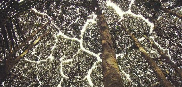 La timidité des arbres ou pourquoi certaines espèces évitent soigneusement de se toucher. (8 photos)