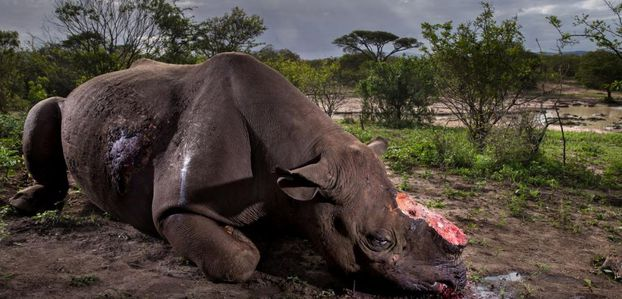Le martyr des rhinocéros illustré par le Wildlife Photographer of the Year - Sciencesetavenir.fr