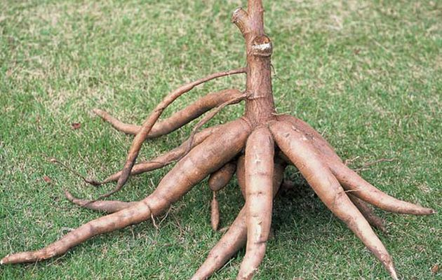 Uganda: Scientists Find Virus-Resistant Cassava Breeds